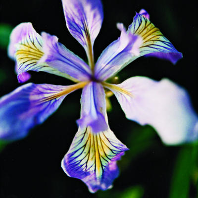 iris-native-flower